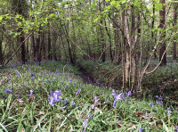Bluebells and primroses cover the banks of the seasonal ditch