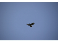 A buzzard wheels overhead.