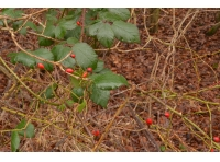 Rosehips growing near the southern edge of the wood