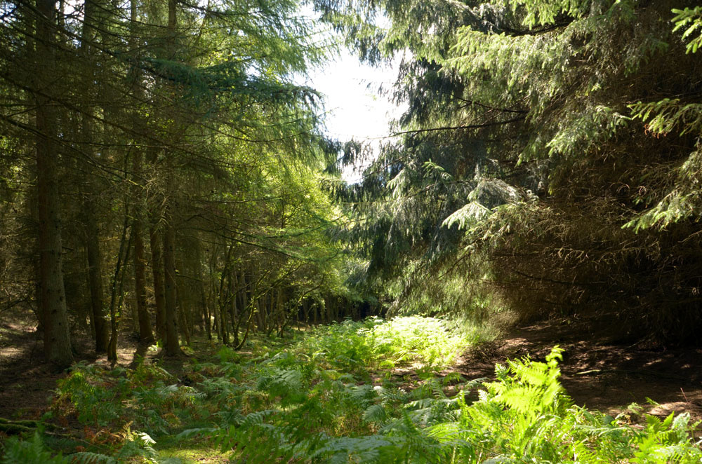 Large spruce to the right and smaller larch to the left.