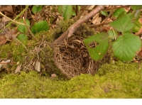 A blackbird's nest