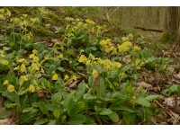 A patch of cowslips near to the stream.