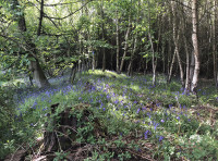 Bluebells are everywhere but flower most profusely where there is more sunlight
