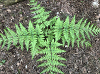 Ferns are found throughout the wood