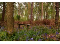 A rustic bench in a bluebell filled clearing