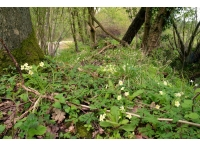 Primroses and wood anemones flowering on a banktop near the entrance