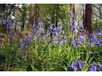 Beautiful bluebells are found throughout the wood