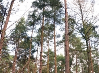 Tall pine and larch trees