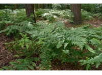 Lots of native ferns grow on the woodland floor