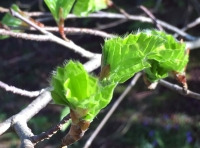 New beech leaves in spring are very downy when the first emerge, and edible too