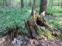 Characterful old oak stumps