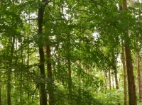 Beech trees amongst the pines