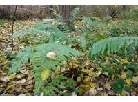 Beautiful woodland ferns are found in shady clearings