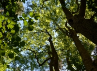 Looking up into the canopy with  mesmerising montage of leaf shapes