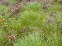 The mounded tussocks of moorland grass