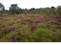 Rich colours of heather and bilberry