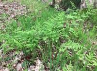 Fronds of woodland ferns
