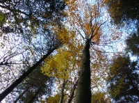 spruce and beech competing for light