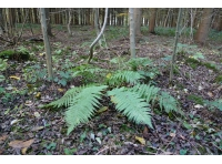 wood-floor fern