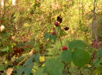 Blackberry bushes provide food for birds and small mammals