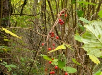 Berries of the briony plant, like jewels but not to be eaten!