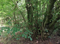 An ancient hazel coppice stool