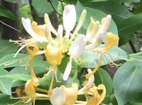 Sweet scented honeysuckle.