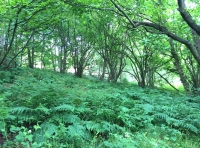Open coppice area with ferns beneath.