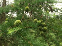 This seasons larch cones.