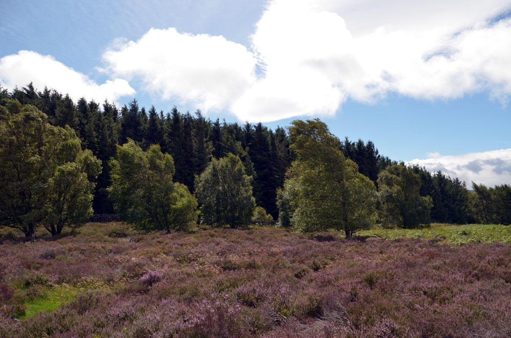 View across the moor to the wood.