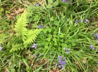 Sorrel, bluebells and ferns