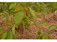 Promising signs of cherries for this summer