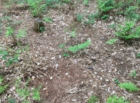 Deer scrapes in the leaf litter