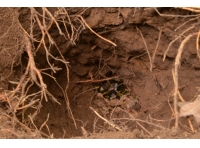 A bumblebee nest which has been dug out and raided by an opportunistic predator