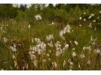 Cotton grass is dotted through out Parker Wood.