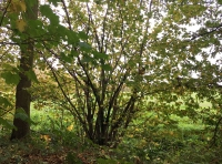 Coppiced hazel can be found in most parts of the wood