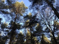 Looking up into the canopy of Scots Pine and Oak