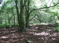 Mature beech trees