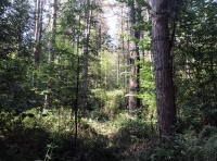 Though the canopy of the wood is mostly pine, there is quite a mixture of tree species established