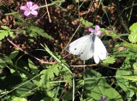 Herb Robert, part of the cranesbill family, visited by a Large White butterfly