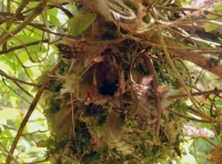 A tit's nest, woven from moss, lichen and pheasant feathers.