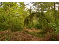 Archway over the path, formed by a young larch tree.
