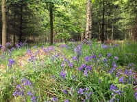 A thick carpet of bluebells in the south of Thack Wood