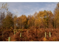 Planted trees amongst thinned birch.
