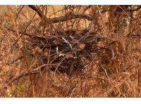 A nest, visible now the leaves have fallen.