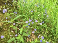 A small patch of Speedwell.