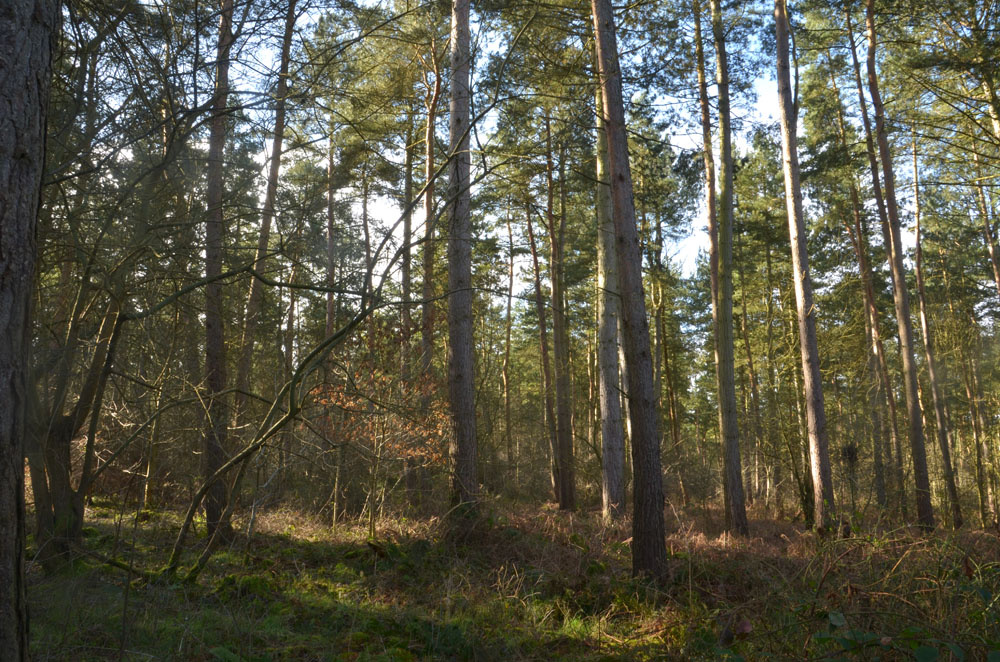 Tall pines with willow and oak benieth.