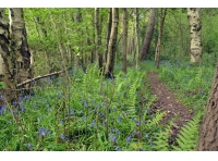 Bluebells and ferns flank a path at the western edge of the wood.