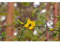 Broom flowers in brilliant yellow