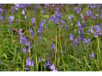 Bluebells carpet the woodland floor with a heady scent in the evening